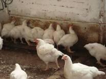 pollos Cob 500 bebiendo agua en niple