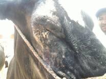 Pérdida del globo ocular en bovino