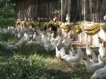 Aves produtoras de ovos brancos organicos no pastorei.