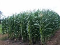 Modelos de crecimiento de cultivos