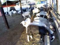 Manejo de ganado ovino