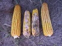 Maíz con mohos productores de aflatoxinas