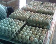 Incubación de huevos genética azul y verde