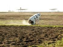 Toro marcador desplegando conducta sexual típica ante vaca en celo