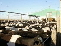 Lote de vacas esperando ordeñe