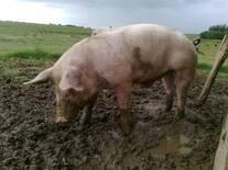 Cerdo que retiene orina, sirve cómo reproductor?