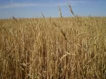 Daño por granizo en trigo
