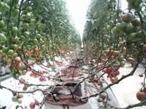 Tomate producido en Invernaculo