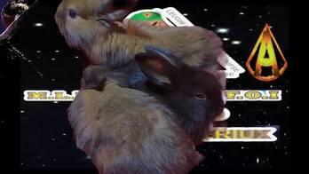 conejos cabeza de leon enanos 150$ c/u - para mascota