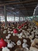 Arriendo granja avicola