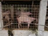 Cerdos y cerdas.
