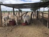 5 becerros hijos de toro de registro charolais, 6 a 8 meses