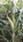 Semilla de maíz variedad mejorada  El Cuenqueño(CP-569)