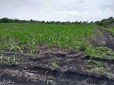 vendo 4.5 hectareas de maiz para silo