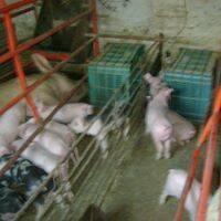 venta de lechones ,cerdas para la ria, sementales cerdo gordo.