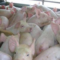 venta de lechones, cerdas para la cria, semntales , cerdo gordo