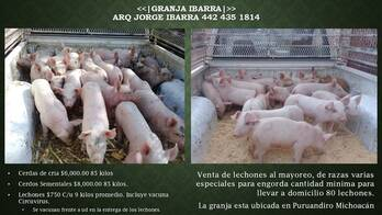 Venta de Lechones, cerdas de cria y cerdos sementales