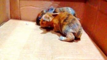 conejos ASE arlequin enano satinado para el buen fin $500