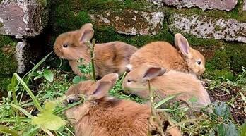 conejo arlequin enano