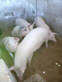 cerdos de 80 kilos, $10500 por los 5