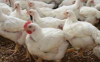 Pollos A.G