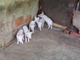 Cerdos Lechones