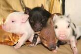 cerdos pequeños (enanos)