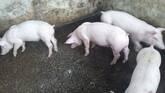 venta de lechones y cerdo en pie finalizado para rastro.