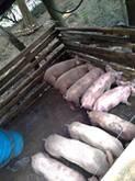Cerdos de Cría y de Engorde