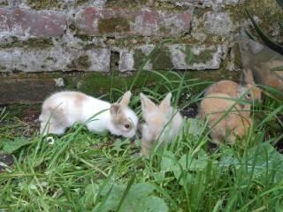 conejo cabeza de leon enano con garantia de vida hasta 5 años