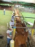 Curso de palpación e inseminación artificial en vacas