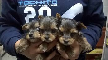 Cachorritos York Shaire Terrier