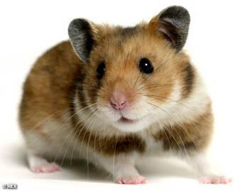 Hamsters y cobayos