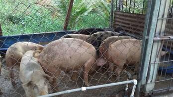 Se vende cerdos vivos