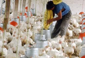 pollo de engorde y pollitos bb deprimera y abono