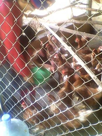 gallinas ponedoras de 8 meses de edad.