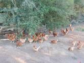 aves de postura orgânicas