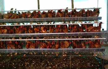 jaulas de gallinas automaticas y manual de 1,2,y3 pisos