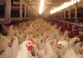 Levantamento Sanitário e Avaliação do Risco Epidemiológico em Instalações Avícolas.