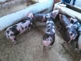 Sementales porcinos