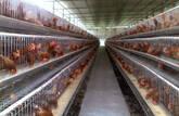 jaulas de gallinas ponedoras ,codorniz, conejos,cuy