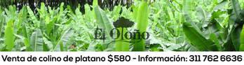 Aguacate semil 40 . Lorena y Santana de exportación