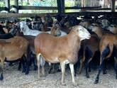 ovejos para pie de cría y para engorde