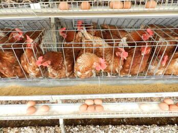 sistema de recolección de huevo