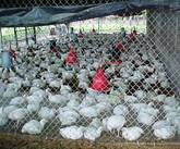 pollos de Costa Rica