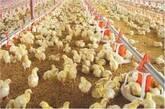 venta de pollos para engorde por cajas