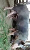 Vendo cerdo barracón para cría  información 3187627328