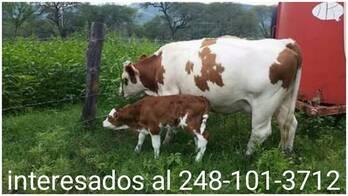 Vacas Lechereras Y Becerras Preñadas, Raza Jersey, Holstein y Cruzas