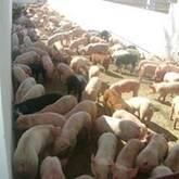 venta de lechones, cerdas para la cria, sementales, cerdo gordo