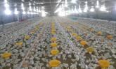 Diseño e instalación eléctrica para galpones avicolas